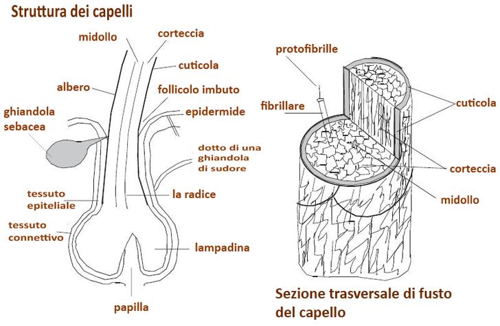 struttura del pelo
